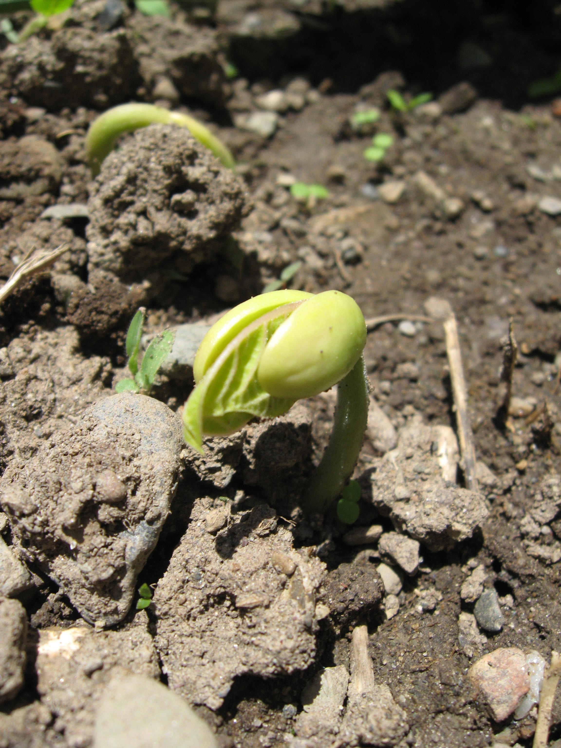 Pea sprouting in late spring
