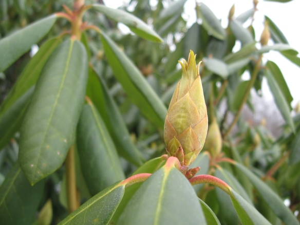 The rhododendron blooms are already set January 8th; they need only wait for spring.