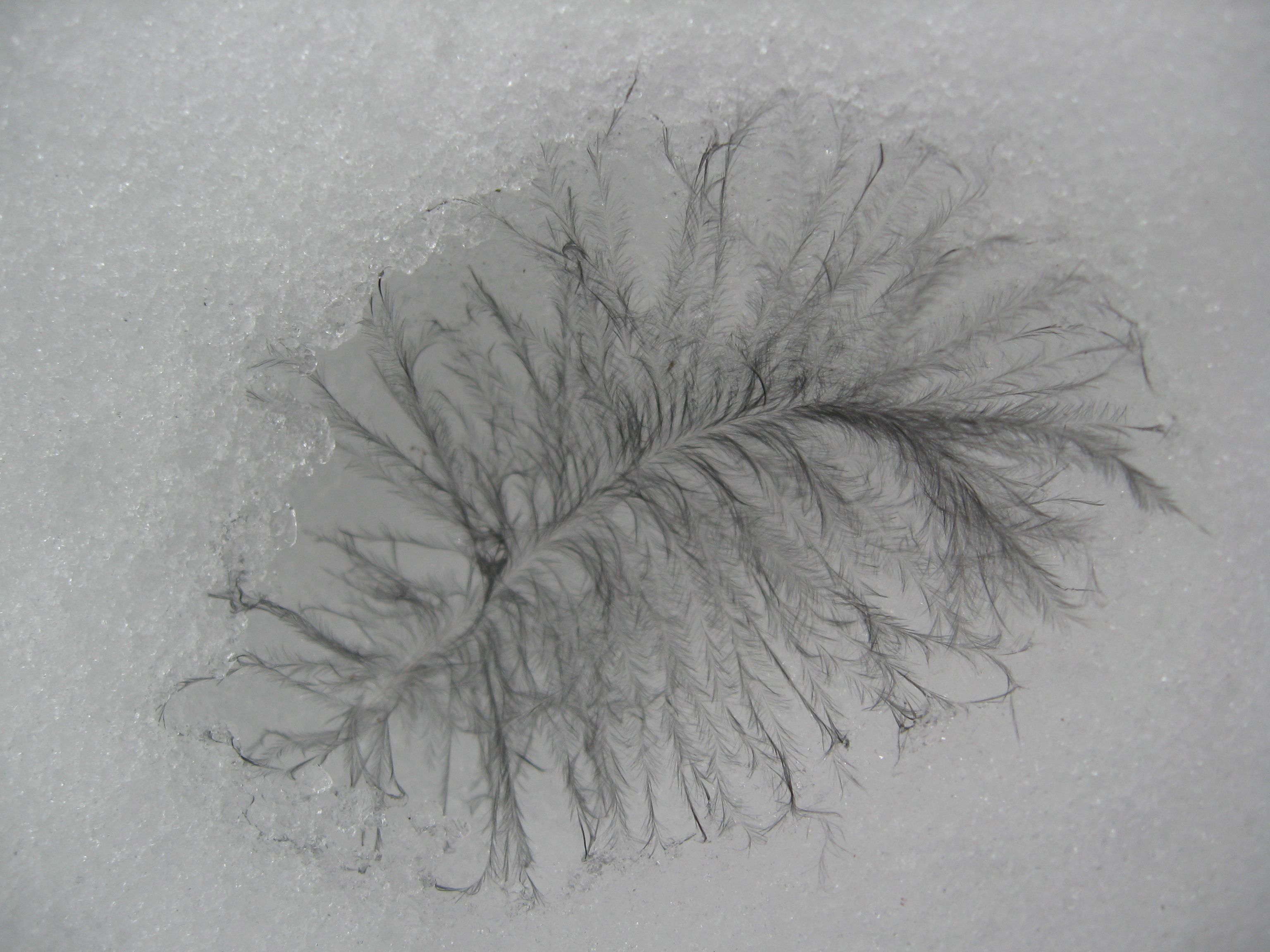 A bit of feather-down, fallen into snow at Dyken Pond.