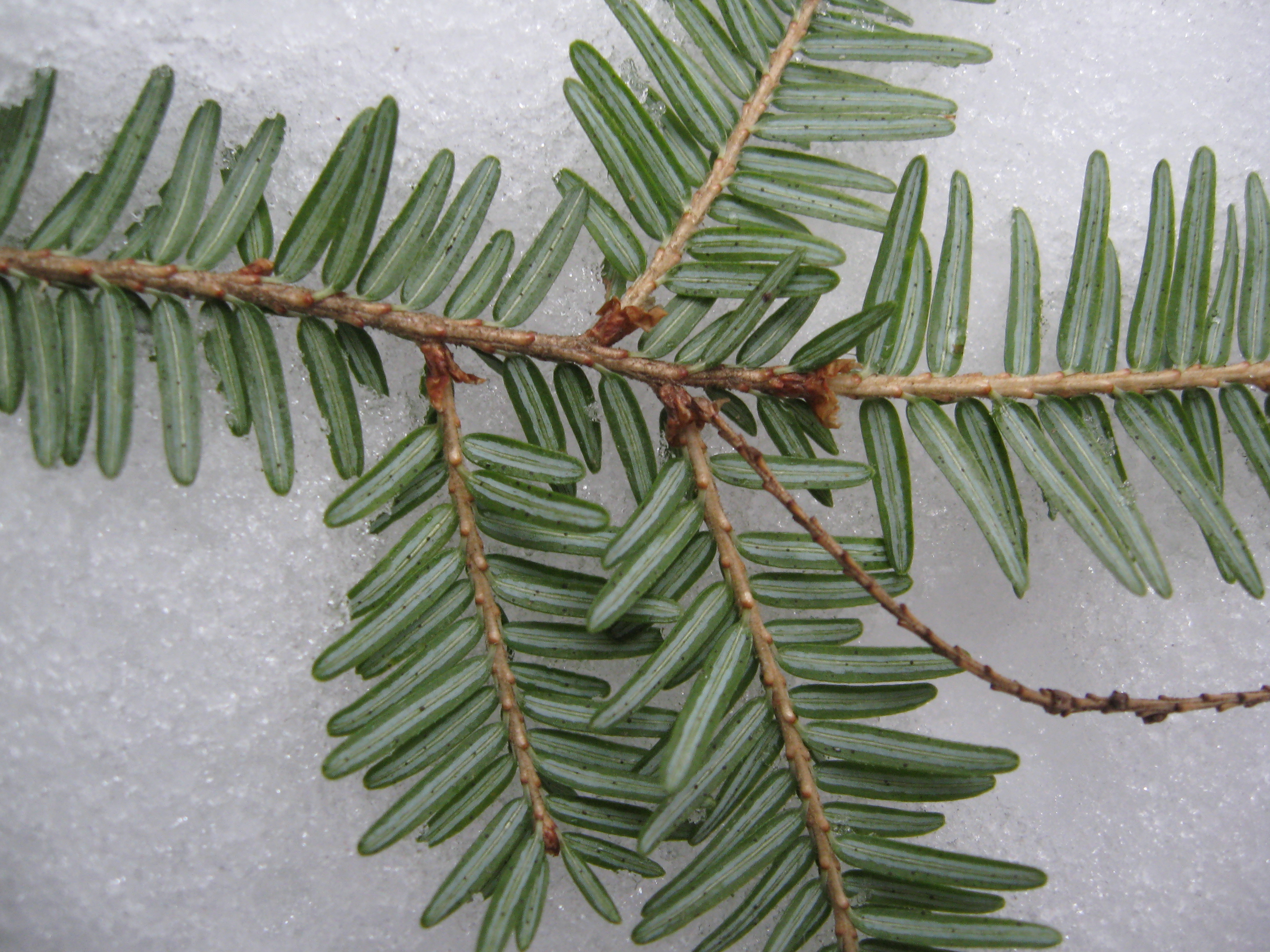 Clean colors of evergreen against the snow, Dyken Pond Environmental Education Center.