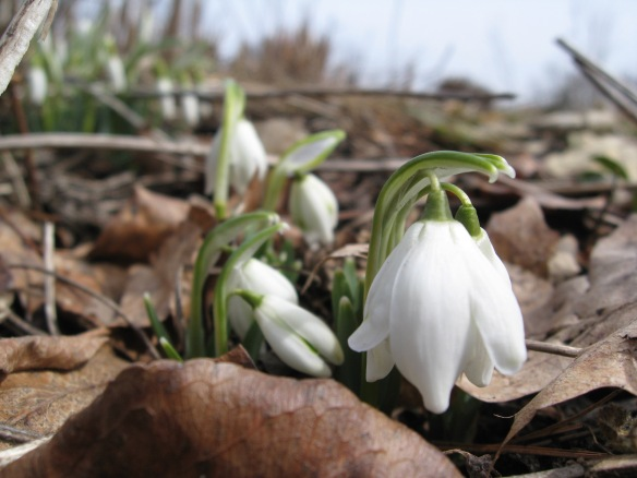 Snowdrops, Landis Arboretum.