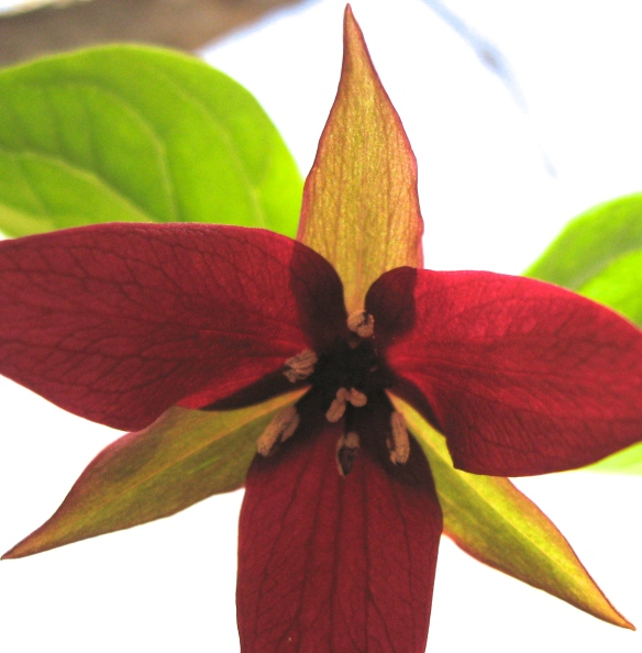 Rare scarlet trillium, imperfectly framed AND glowing deliciously.