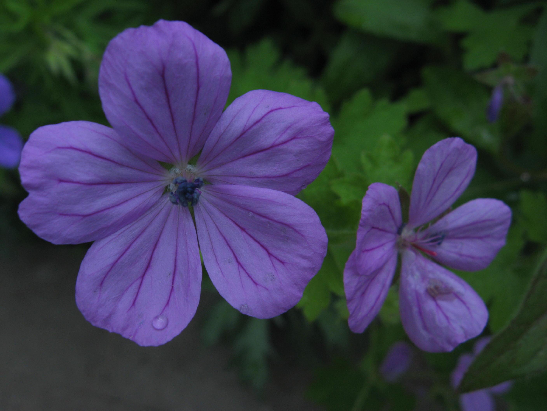 Wild geranium from the garden.