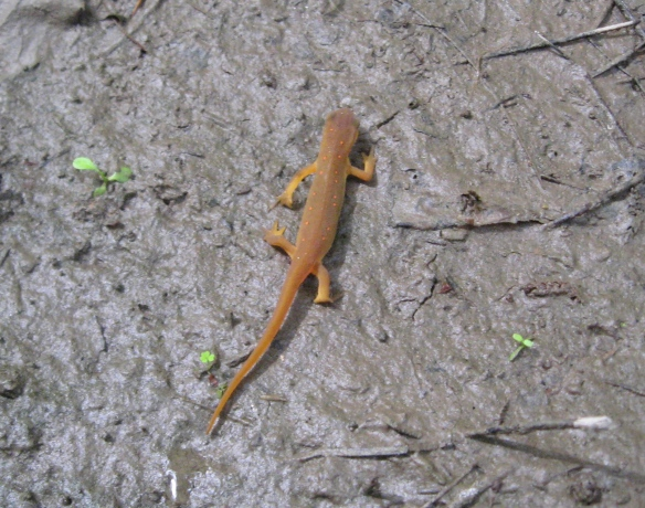 Orange newt in thick mud, August, Partridge Run