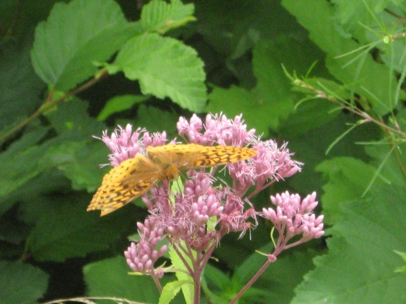 Joe Pye Weed, with a non-lethal creature.