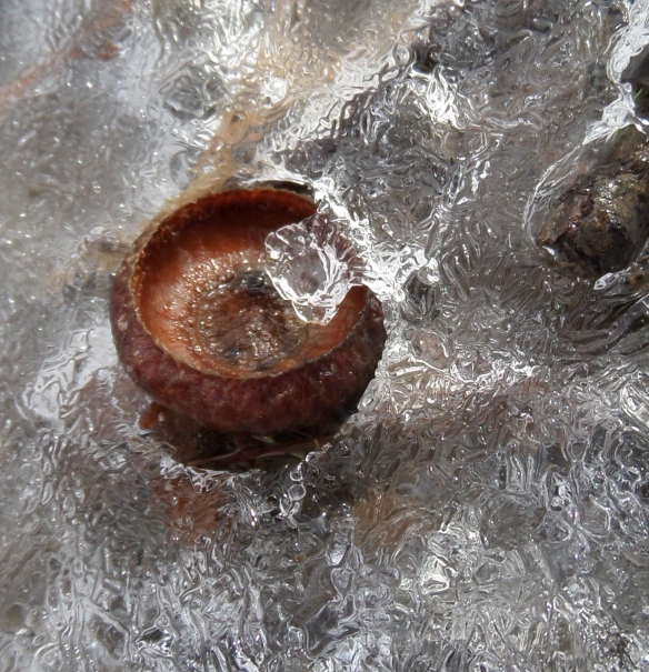 Acorn cap in the ice, Partridge Run.