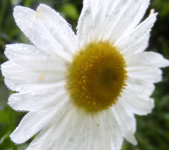 Daisy, full open in morning dew.