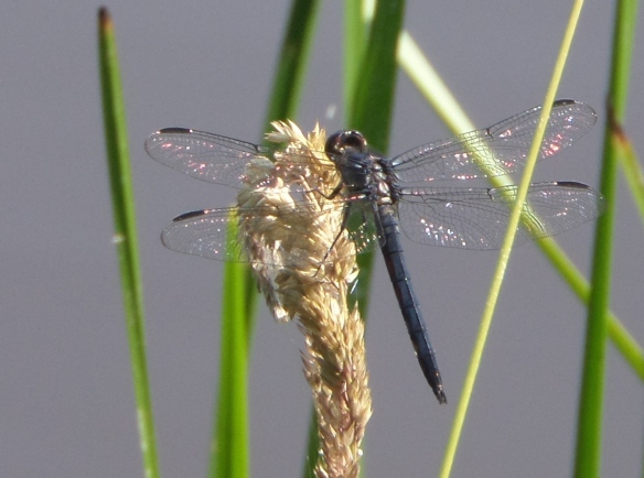 Dragonfly at Partridge Run seen on a recent come-back hike: symbol of (among other things) renewal after hardship, transformation, adaptability, joy and lightness.
