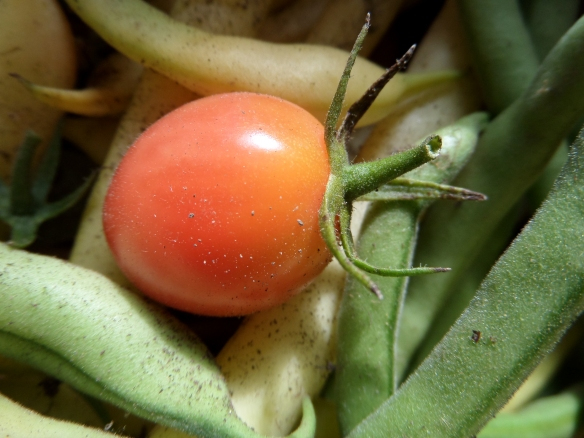Cherry tomato from my garden, amongst late season yellow and green beans.