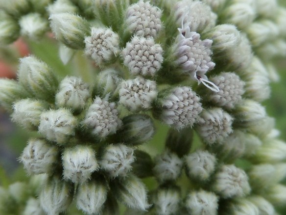 Boneset, in the same family as Joe Pye Weed-- Eupatorium