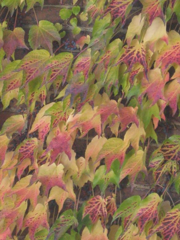 Fall ivy.