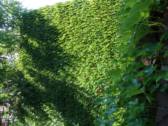 Walls of ivy