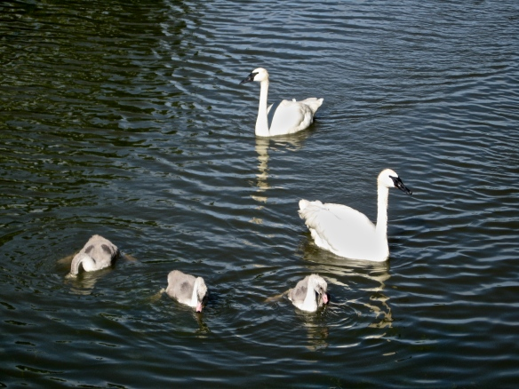 Back at the Chicago Botanic Garden, swans with babies, be-ing.