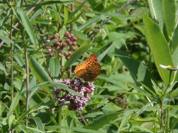 A fritillary of some sort, also at Gore Mountain in the fall.