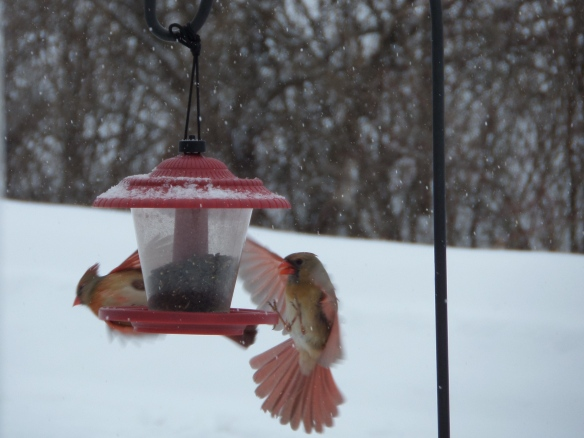 Winter flight of female cardinals at the feeder.