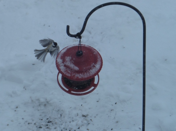 Chickadee zooming in for a nibble.