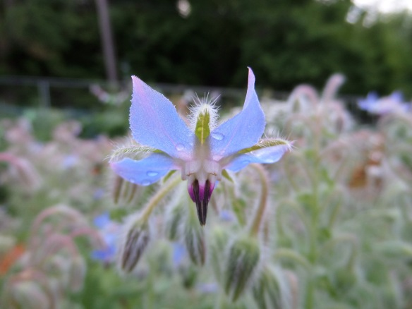 Beauteous blue borage in full bloom.